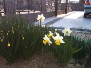 Narcissus_20120409_2