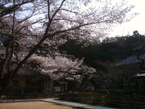 Sakura2_20120409_3