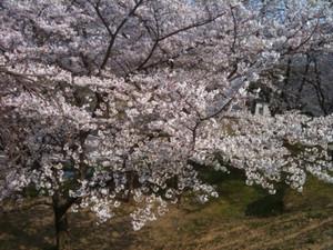 Sakura5_20120409_2