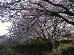 Sakura6_20120409_2