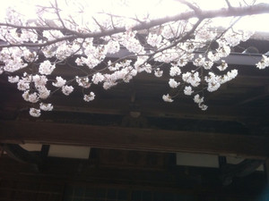 Sakura7_20120409_3