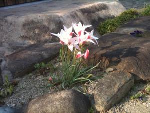Tulip_20120409_2