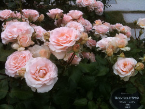 Rose10_jstrauss