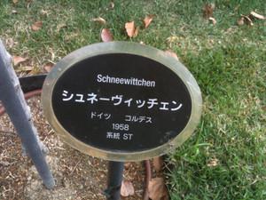 Rose11_schneewittchen1