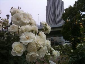 Rose12_schneewittchen2