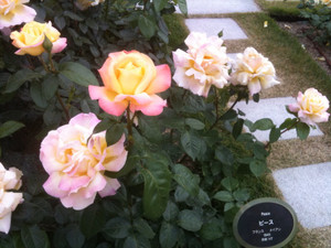 Rose15_peace
