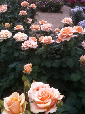 Rose18_marilyn_monroe2