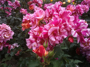 Rose1_doga