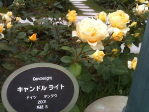 Rose2_canl
