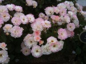 Rose4_matilda_2
