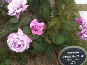 Rose5_charles_de_gaulle