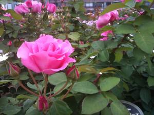 Rose7_maca2