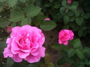 Rose8_maca3
