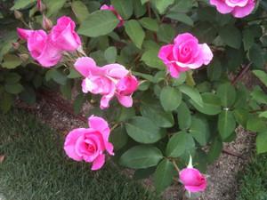 Rose9_macs4