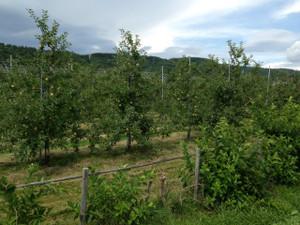 Apples_130827_2