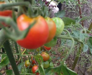 Tomato1507041