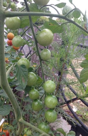 Tomato_1507042